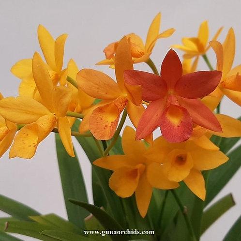 Cattlianthe Hidden Gold BS