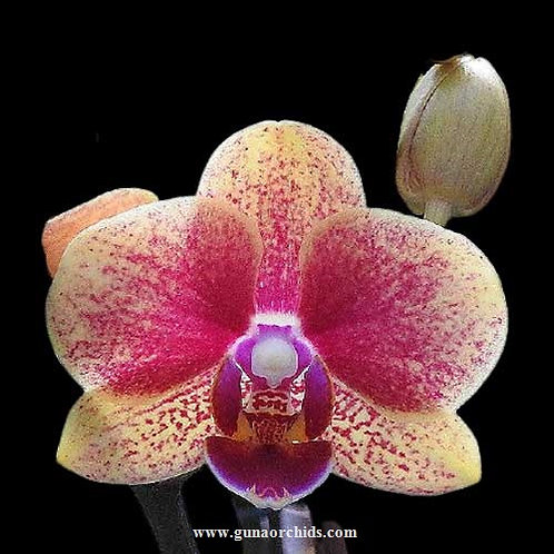 Phalaenopsis Lioulin Phoenix  BS