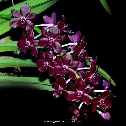 buy vandachostylis sri-siam orchid online