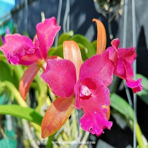 Cattleya Netrasiri Beauty x Yen Red Face BS