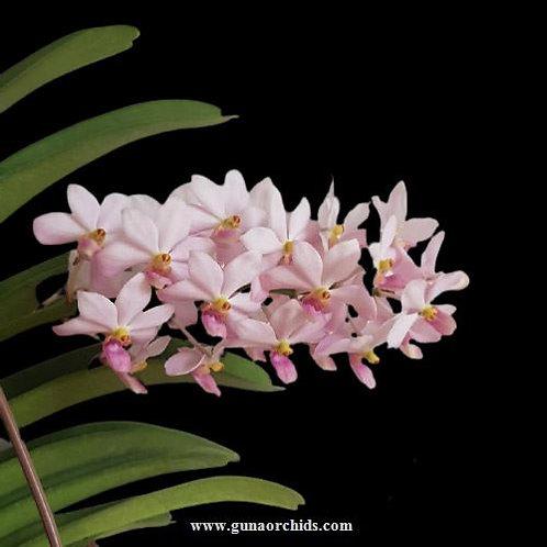 buy vandachostylis kouishiro ikai orchid online