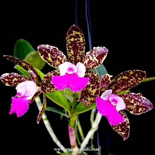 Cattleya Pradit Spots 'Dark Prince' BS