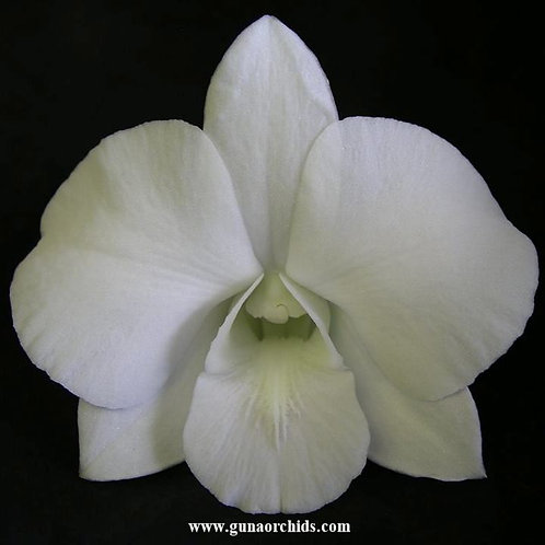 Dendrobium White Diamond BS