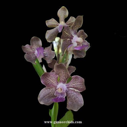buy vanda sampoi blue orchid online