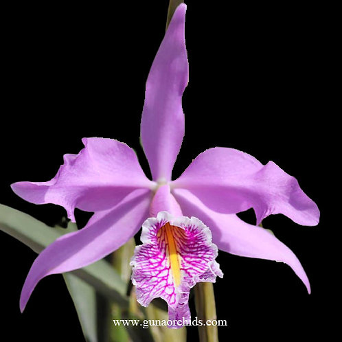 buy brassocatanthe haleahi profusion orchid online