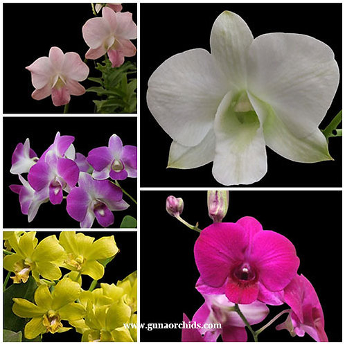 Dendrobium SS 5 Pack Combo
