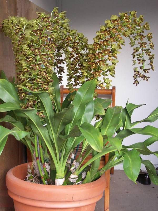 grammatophyllum orchids blooming