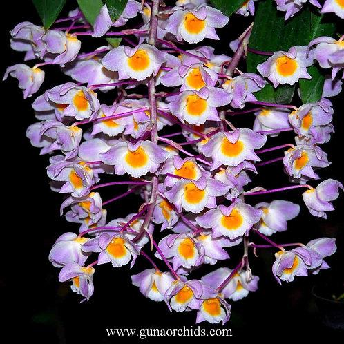 buy dendrobium amabile orchid online