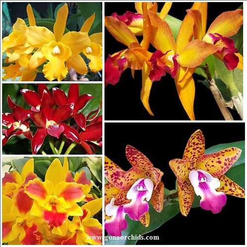 buy cattleya bs 5 pack combo orchids online