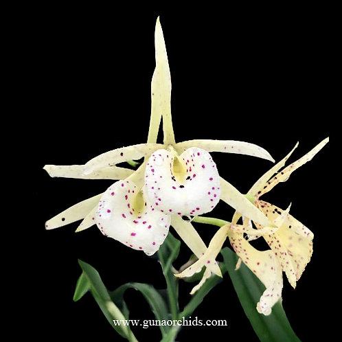 buy brassocattleya yellow bird #2 orchid online