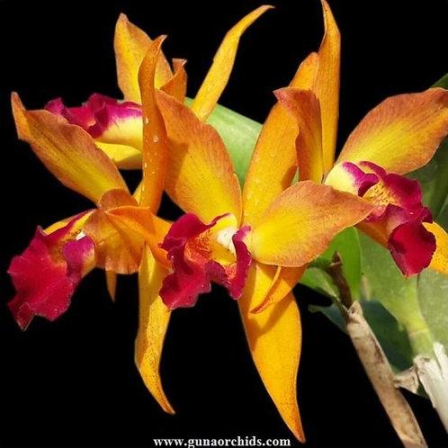 Cattleya Varut Star Track x Thiti BS