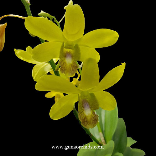 buy dendrobium thongchai ancheng orchid online