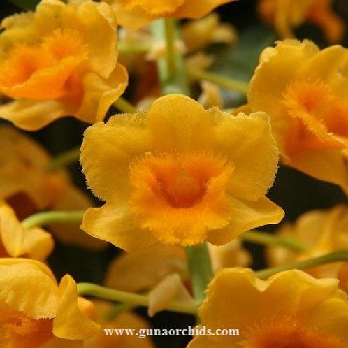Dendrobium Densiflorum BS