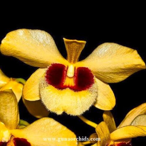 Dendrobium Gatton Sunray BS