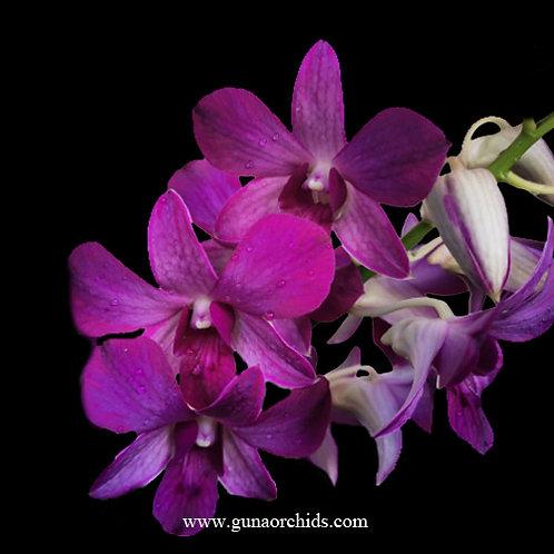 Dendrobium Petticoat x Garnet Beauty BS