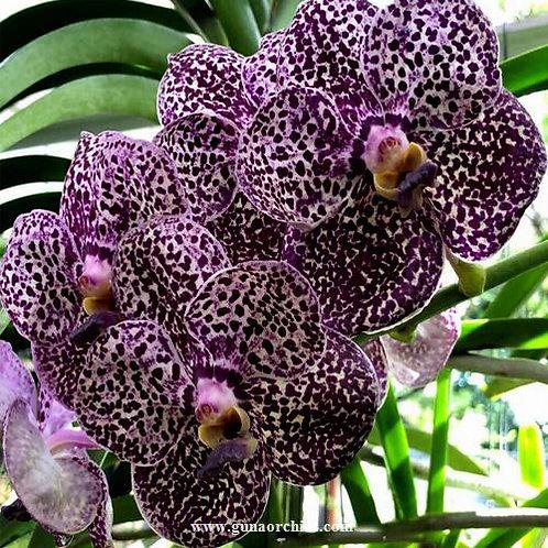 buy vanda kulwadee fragracne x chaopraya orchid online