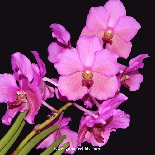 buy papilionanda mevr. l. velthuis-bitz's heartthrob orchid online