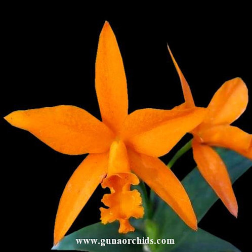 Cattleya Aurantiaca x Netrasiri Beauty BS