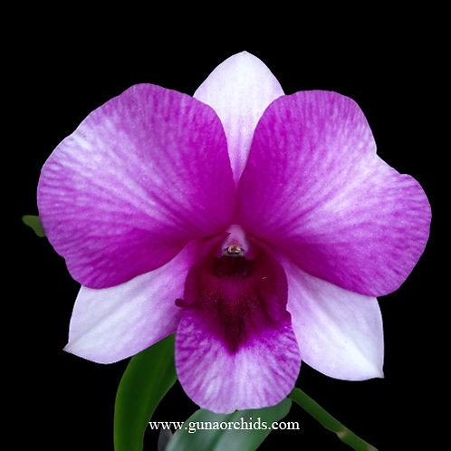 Dendrobium Ekapol x Pale Face - FF | BS