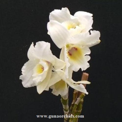Dendrobium Nobile True Love BS