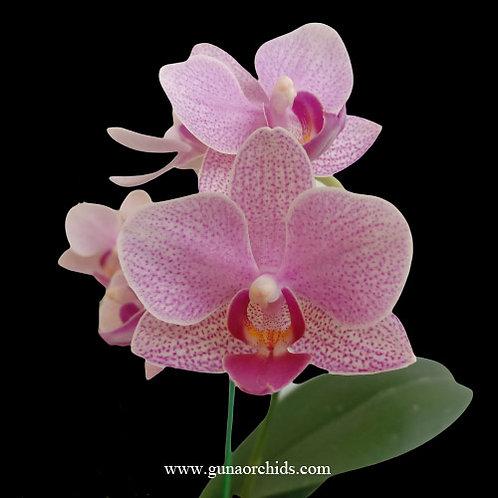Phalaenopsis Shu Long Lucky Sun BS