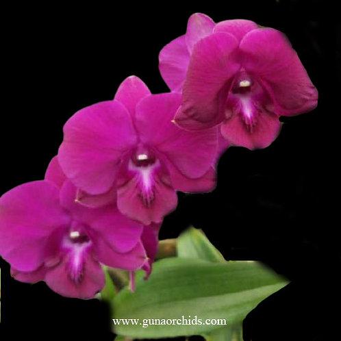 buy dendrobium thailand cleopatra orchid online