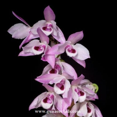 Dendrobium Parishii BS