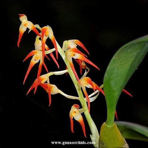 buy bulbophyllum flammuliferum bs orchid online