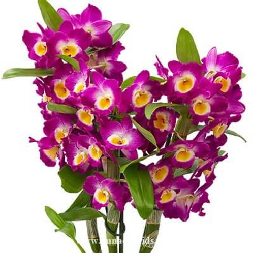 Dendrobium Nobile Red River BS