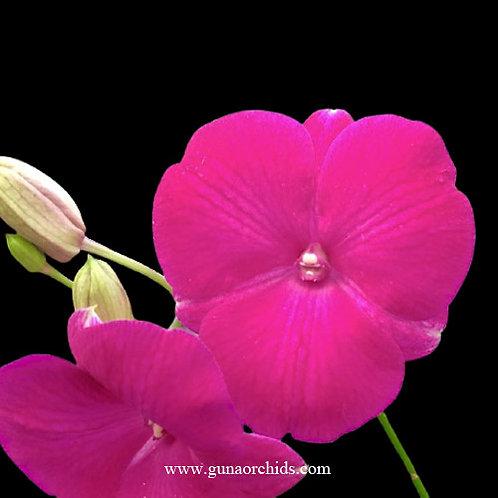 buy dendrobium kuranda classic  x thailand orchid online
