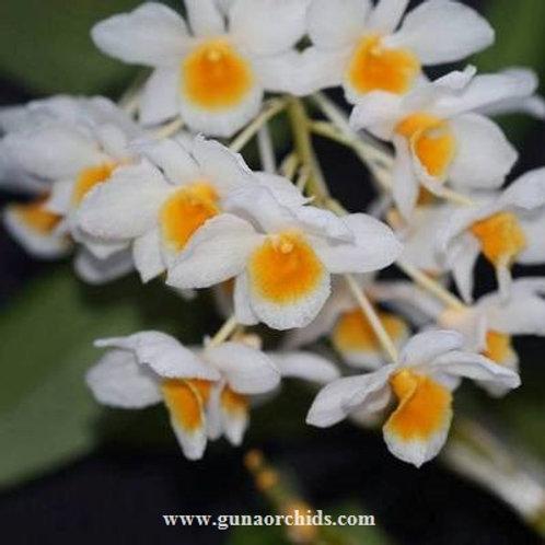 Dendrobium Palpebrae BS