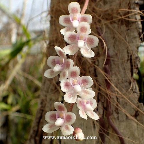 Chiloschista Viridiflava 'Sakura' BS