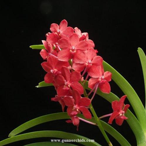 buy vascostylis crownfox red gem orchid online