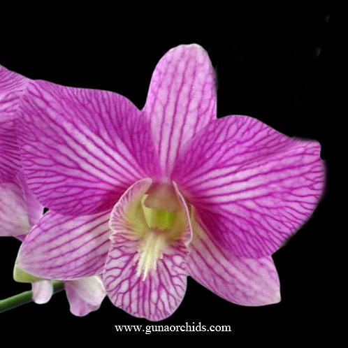 Dendrobium Aridang Green x Burana Stripe BS