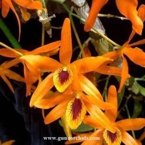 Dendrobium Chantaboon Sunrise BS