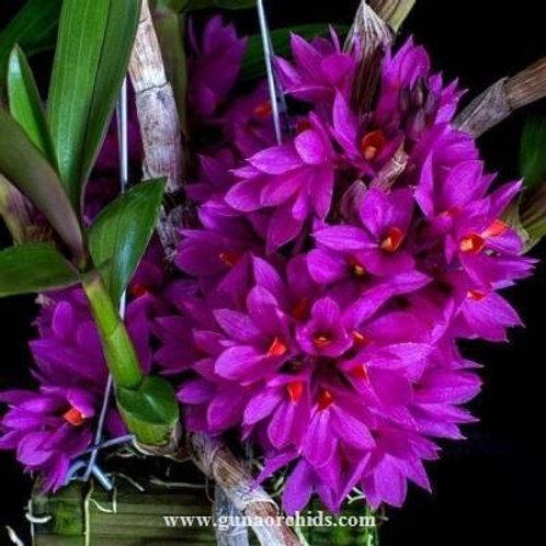 Dendrobium Hibiki BS