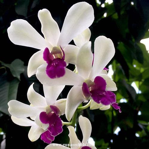 buy dendrobium woonleng chaopraya orchid online
