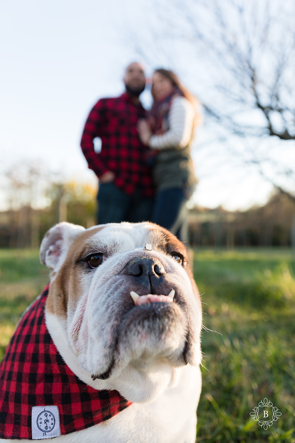 Northern Virginia Loudoun County engagement Quattro Goombas Winery fall sunset engagement bulldog ring on nose