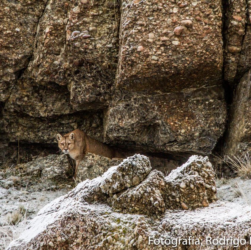 Puma saliendo de alero