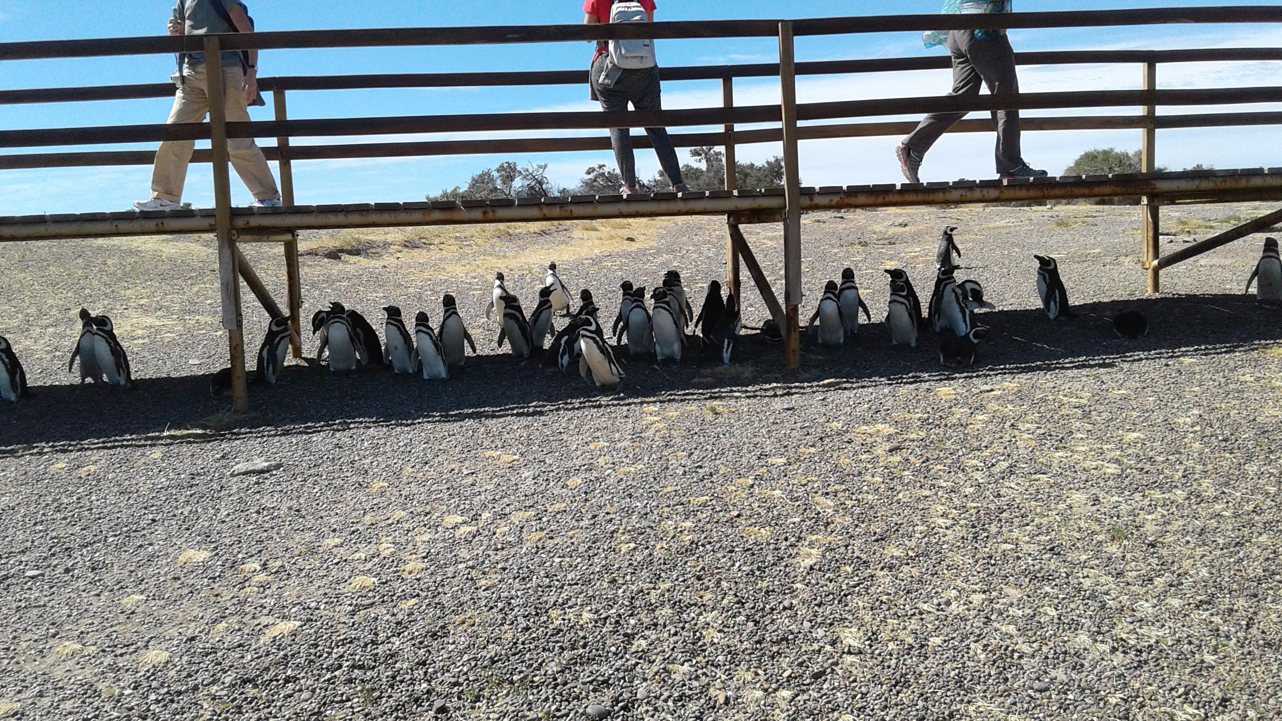 Pinguinos expuestos al turismo