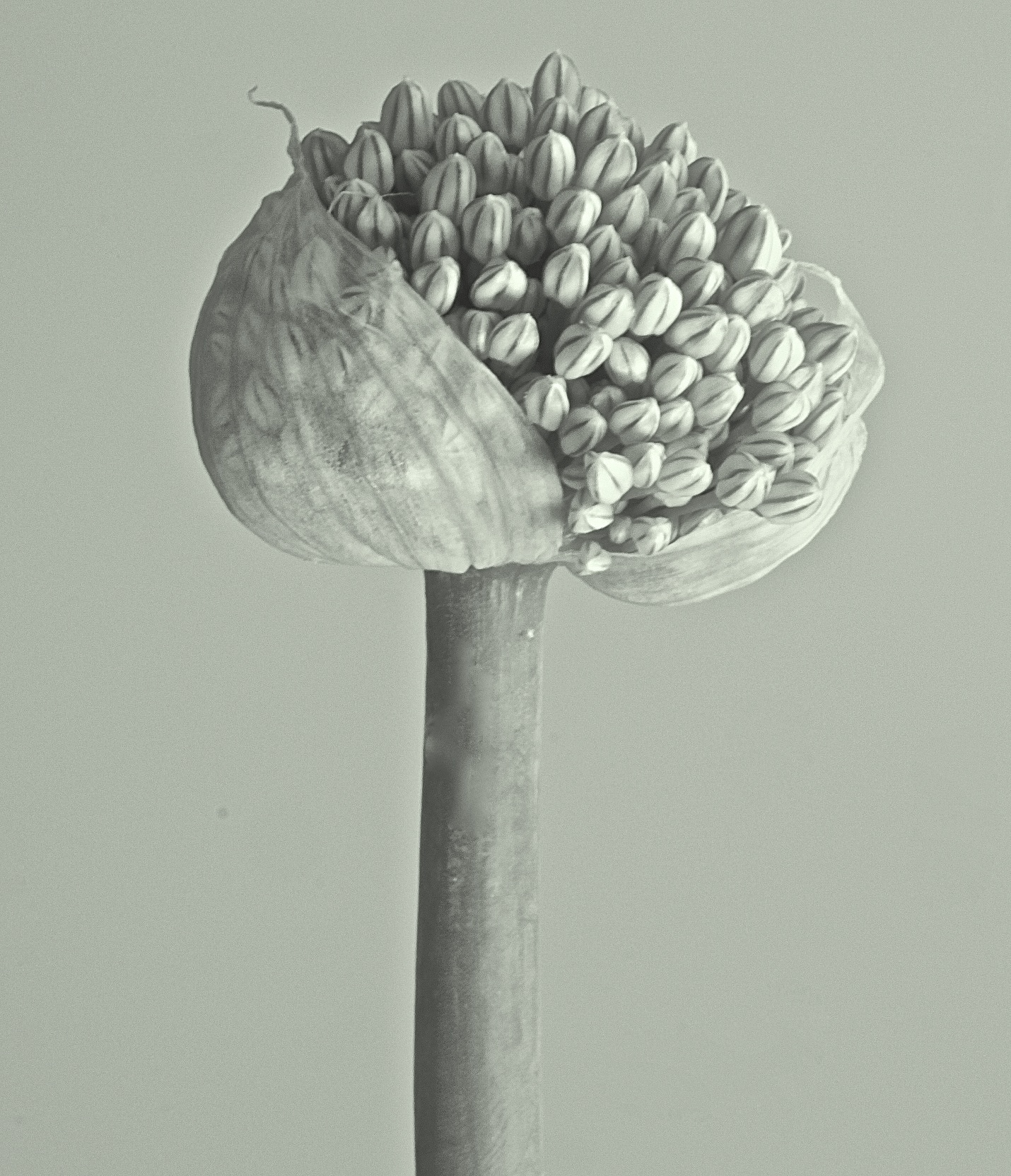 Onion flowering, 2016