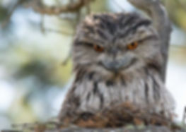 Tawny-Frogmouth-Tiff-Oct-18-lo-res (003)