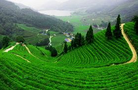 Longjing Grüner Tee Bio Bioherby