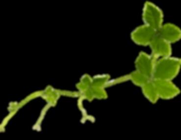 Jiaogulan   Bioherby Naturprodukte