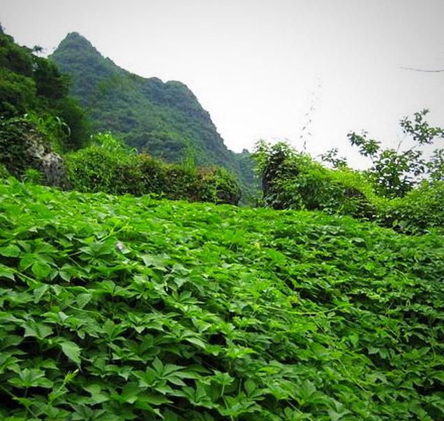 Bioherby Jiaogulan Tee  von Bio-Qualität und FDA-zertifiziert.
