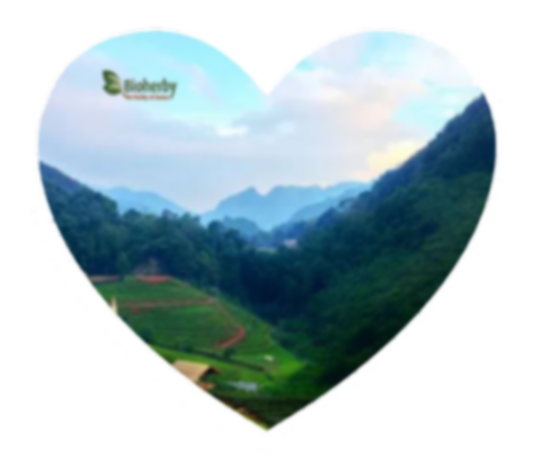 Jiaogulan, Tee, kaufen, Bio,  Bioherby O