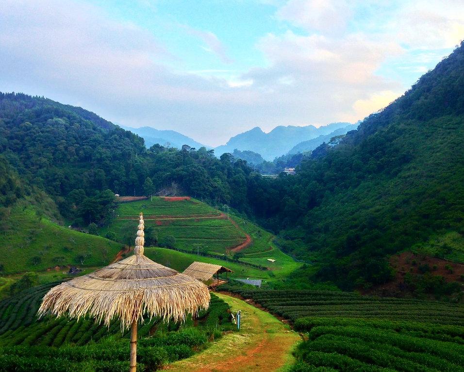 Jiaogulan Tee Bioherby kaufen Bio