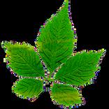 Bioherby Jiaogulan Tee kaufen ausBioFarm