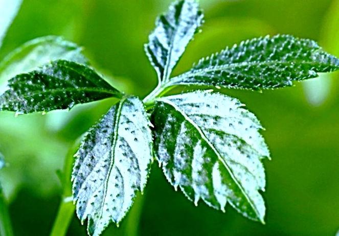 Jiaogulan Tee Bio kaufen von Bioherby.