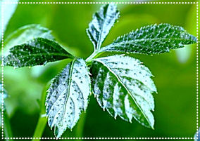 Jiaogulan Tee kaufen Bio Bioherby